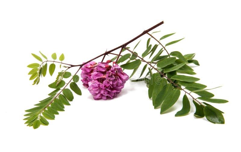 Fiori rosa dell'acacia fotografia stock