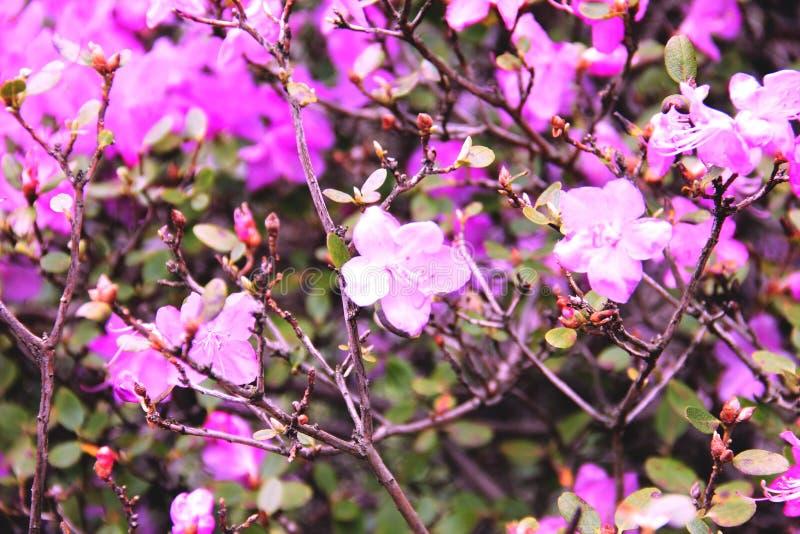 Fiori rosa dell'albero del rododendro bei fotografie stock libere da diritti