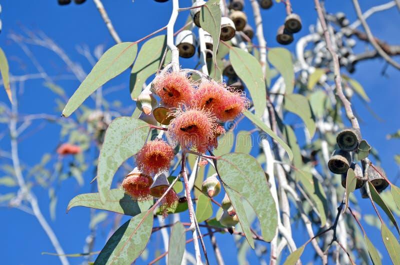 Fiori rosa dell'eucalyptus dell'albero di gomma immagine stock libera da diritti
