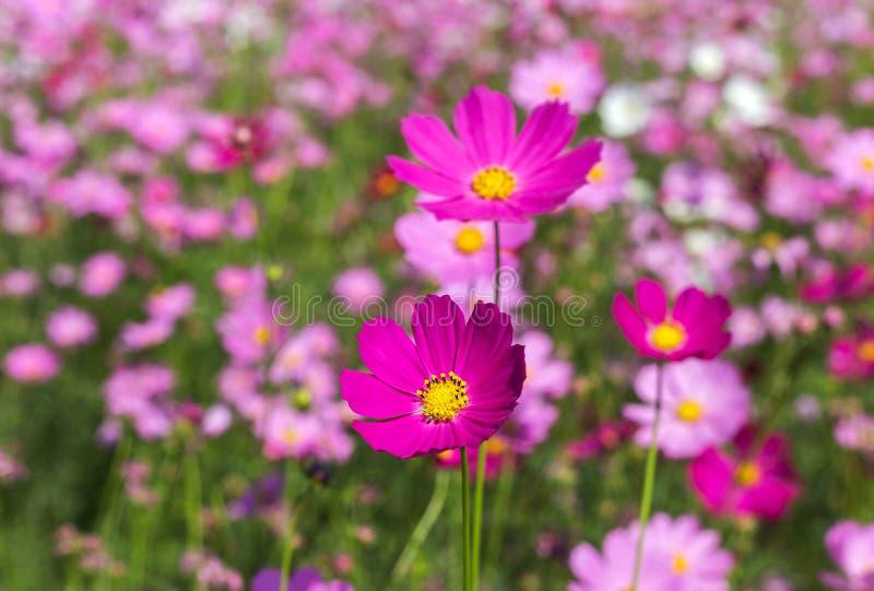 Fiori rosa dell'universo che fioriscono nel giardino fotografie stock libere da diritti