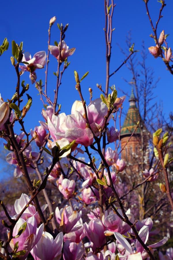 Fiori rosa della magnolia di piattino sbocciante dell'albero della magnolia nella primavera con una chiesa nei precedenti immagine stock libera da diritti