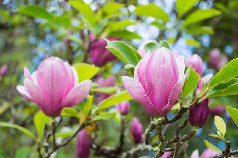 Fiori rosa della magnolia nel giardino fotografie stock