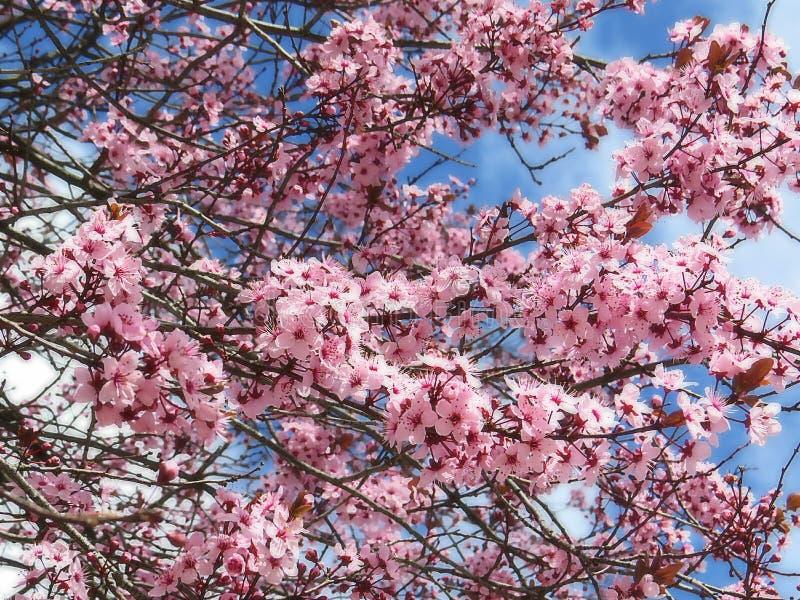 Fiori rosa della magnolia nell'ambito di un fondo nuvoloso del cielo blu fotografie stock libere da diritti