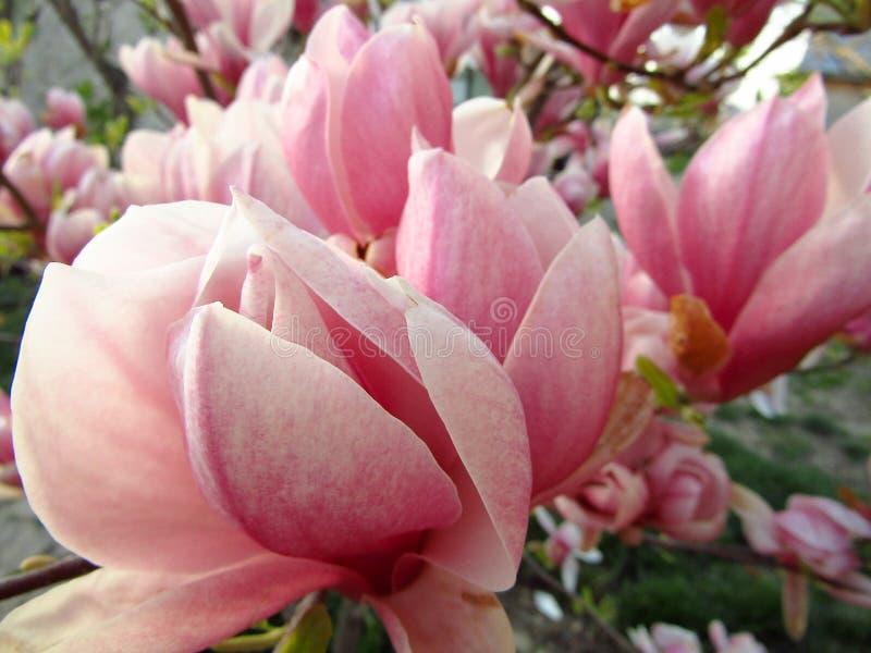 Fiori rosa della magnolia in primavera closeup immagini stock