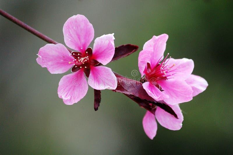 Fiori rosa della pesca immagini stock libere da diritti
