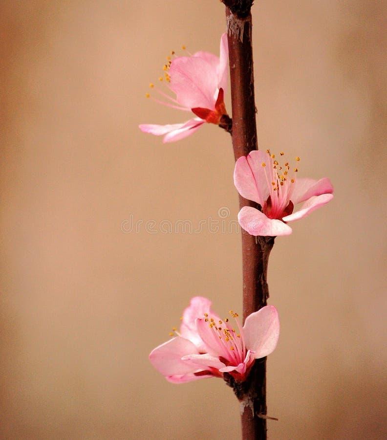 Fiori rosa della pesca fotografia stock