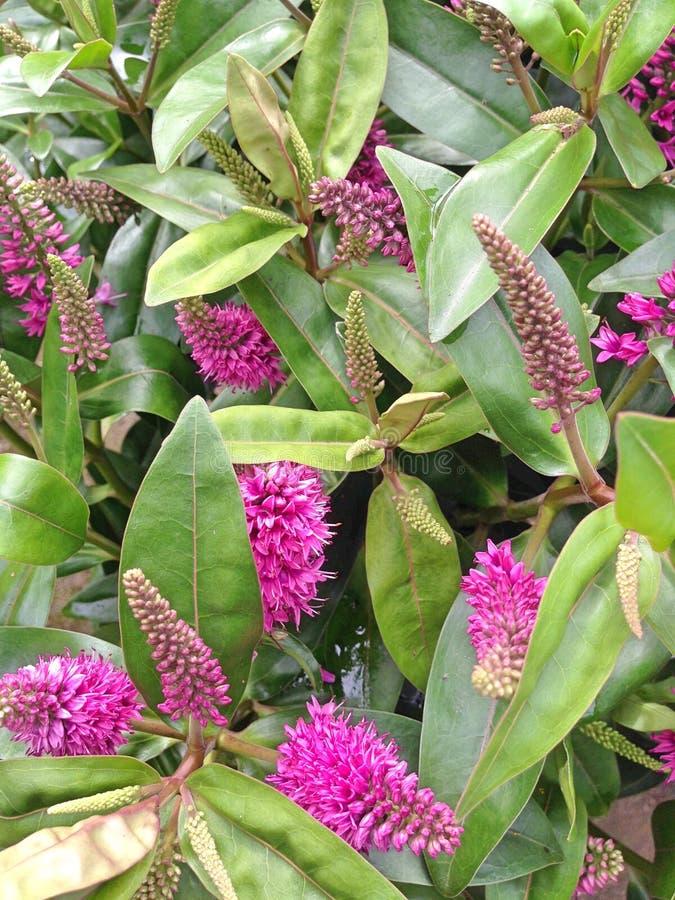 Fiori rosa delle aggiunte di hebe con le foglie verdi immagine stock libera da diritti