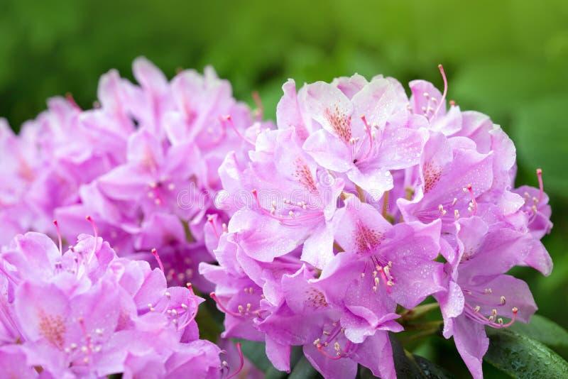 Fiori rosa delle azalee nella primavera immagini stock libere da diritti