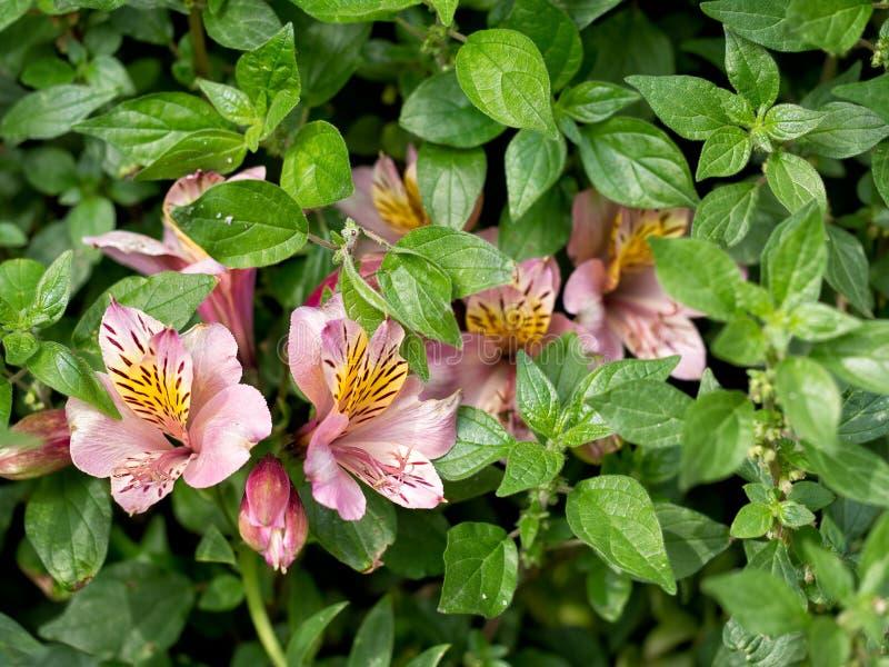 Fiori rosa di Alstoemeria, invasi e naturalizzati immagine stock libera da diritti