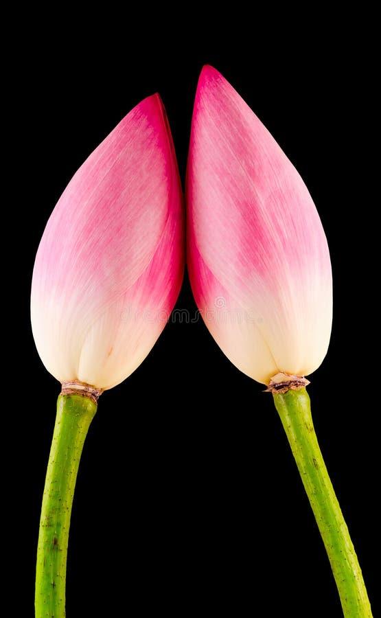 Fiori rosa di nelumbo nucifera, fine su, fondo isolato e nero fotografie stock libere da diritti