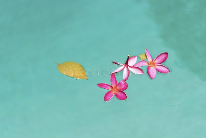 Fiori rosa di plumeria in stagno fotografia stock