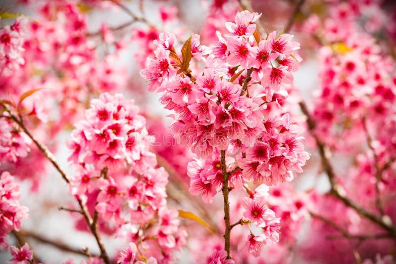 Fiori rosa di sakura della Tailandia che fioriscono nell'inverno con sele immagini stock libere da diritti
