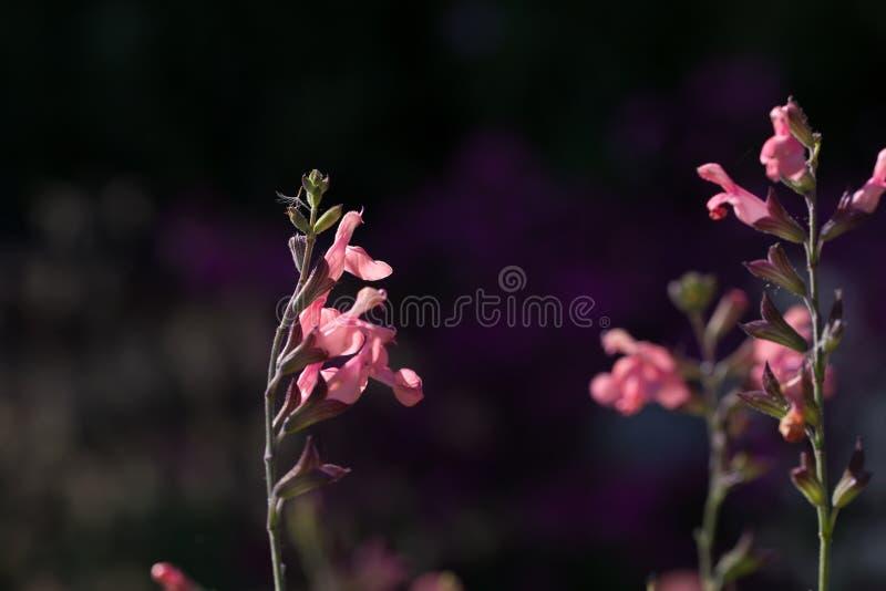 Fiori rosa di salvia officinalis, fondo molle scuro del bokeh fotografia stock libera da diritti