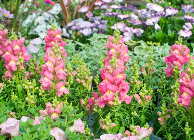 Fiori rosa e gialli di bocca di leone immagine stock for Bocca di leone in vaso