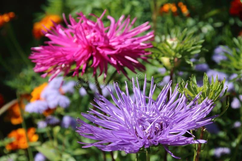 Aster SETA FIORE ARTE Fiore 73 cm Rosa Lilla Viola 124957-18 f23