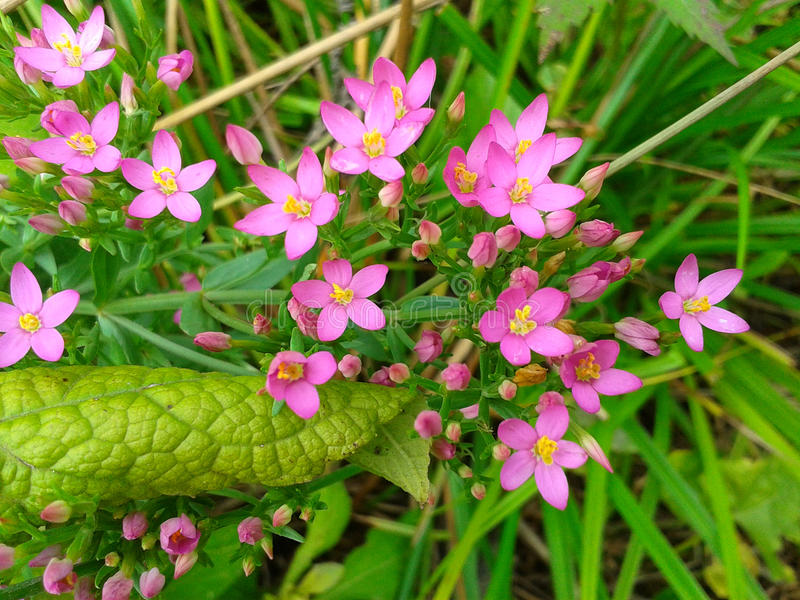 Fiori rosa in erba verde fotografia stock