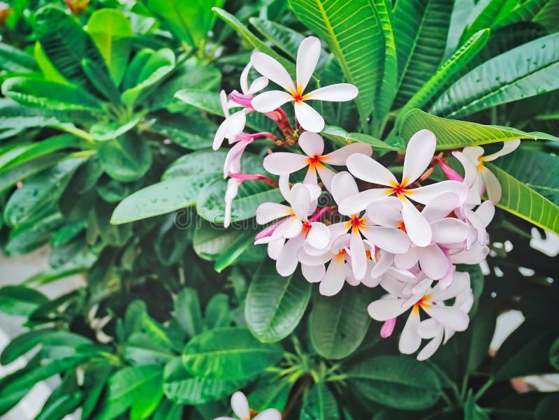 Fiori rosa gialli del frangipane sul fondo delle foglie verdi fotografia stock libera da diritti