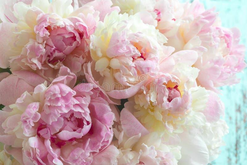Fiori rosa lanuginosi delle peonie fotografia stock