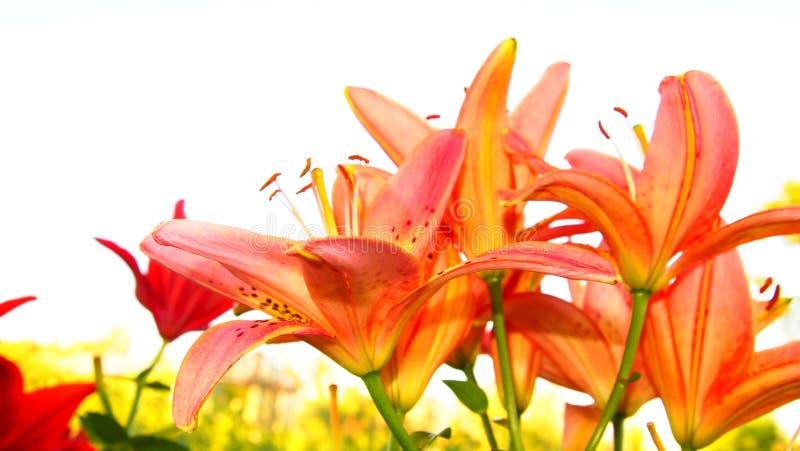 fiori rosa luminosi su bianco fotografie stock libere da diritti