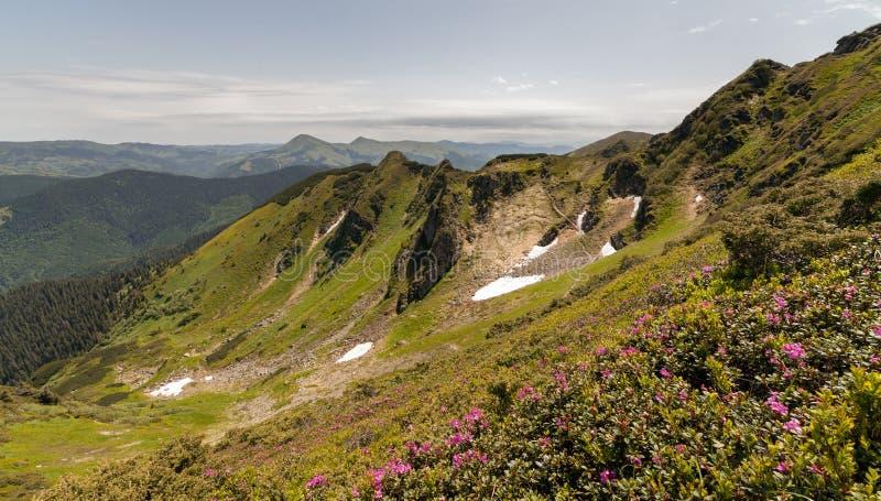 Fiori rosa magici del rododendro nelle montagne Carpatico, cresta di Marmarosy (situata sull'asse del confine in mezzo immagini stock libere da diritti