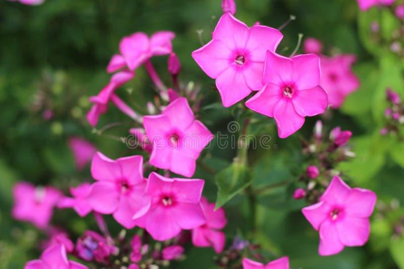 Fiori rosa minuscoli vibranti fotografia stock
