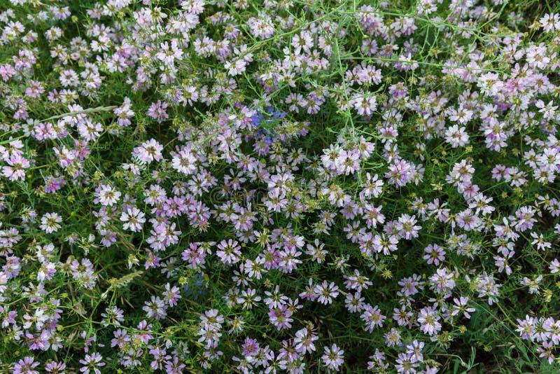 Fiori rosa nella vista superiore sopraelevata del prato fotografia stock libera da diritti