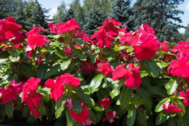 Fiori rosa rossastri del catharanthus roseus immagini stock libere da diritti