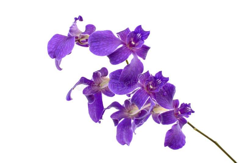 Fiori rosa scuri dell'orchidea isolati su fondo bianco immagini stock libere da diritti