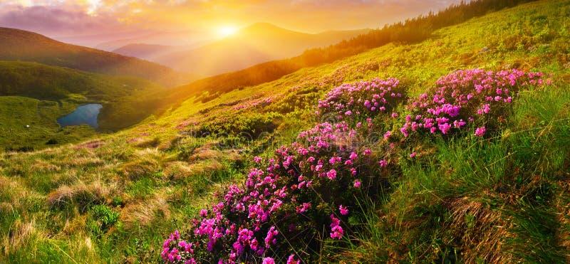Fiori rosa selvaggi e sol levante di fioritura in altopiano immagine stock