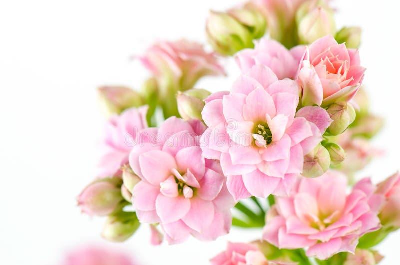 Fiori rosa su fondo bianco, kalanchoe blossfeldiana fotografia stock