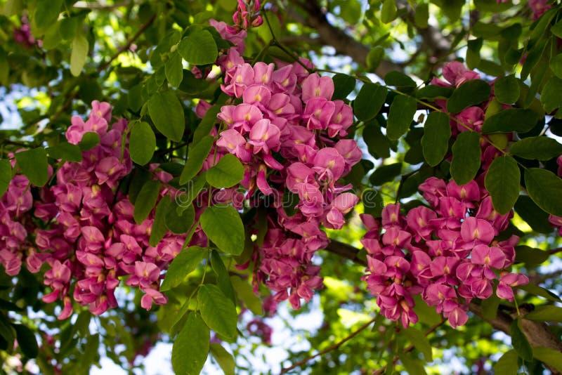 Fiori rosa su un albero di locusta nera di fioritura in primavera in anticipo immagini stock