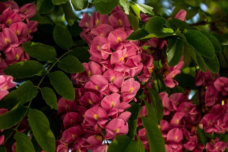 Fiori rosa su un albero di locusta nera di fioritura in primavera in anticipo immagine stock libera da diritti