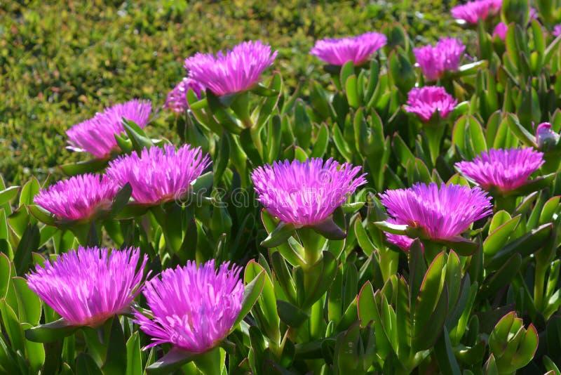 Fiori rosa su una pianta succulente della copertura al suolo immagini stock