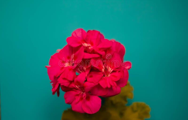 Fiori rosa sul bordo di legno blu Cartolina d'auguri dei fiori, spazio per testo immagine stock libera da diritti