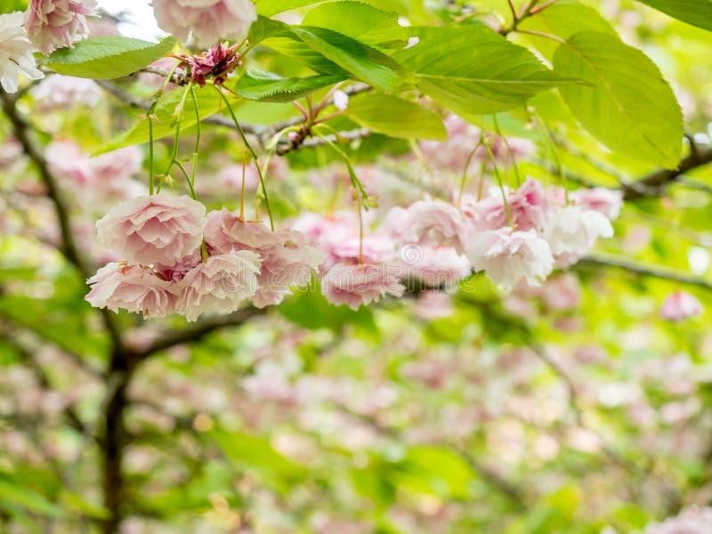 Fiori rosa sull'albero fotografia stock