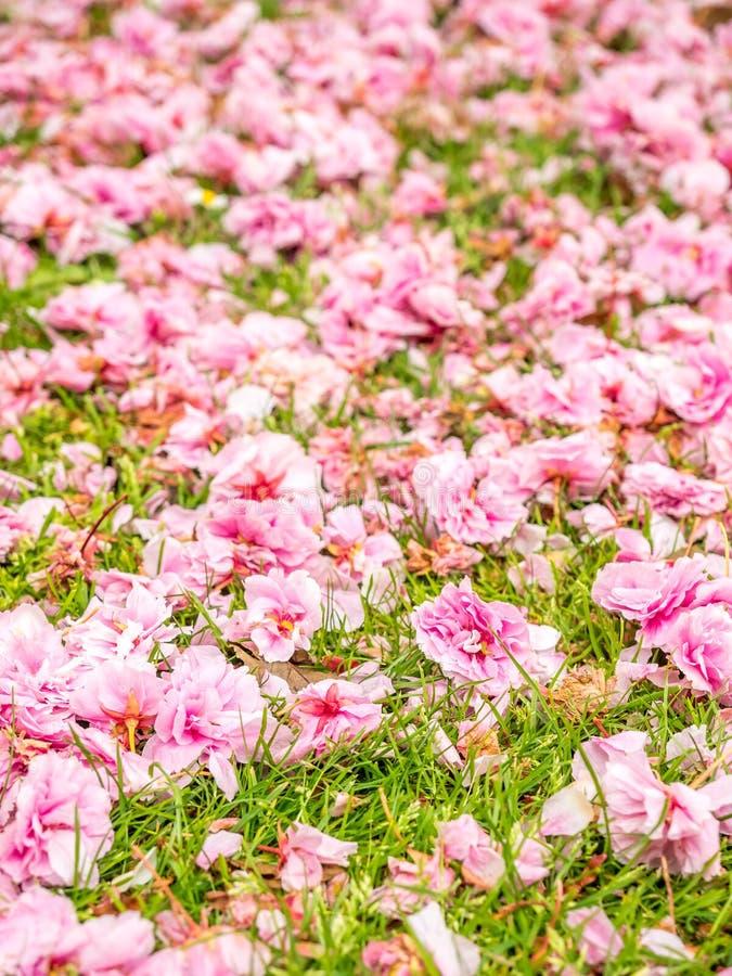 Fiori rosa sull'albero fotografie stock libere da diritti