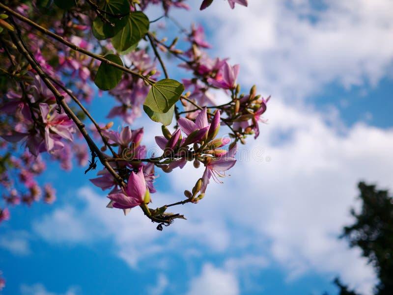 Fiori rosa sull'albero dell'acacia con cielo blu fotografia stock