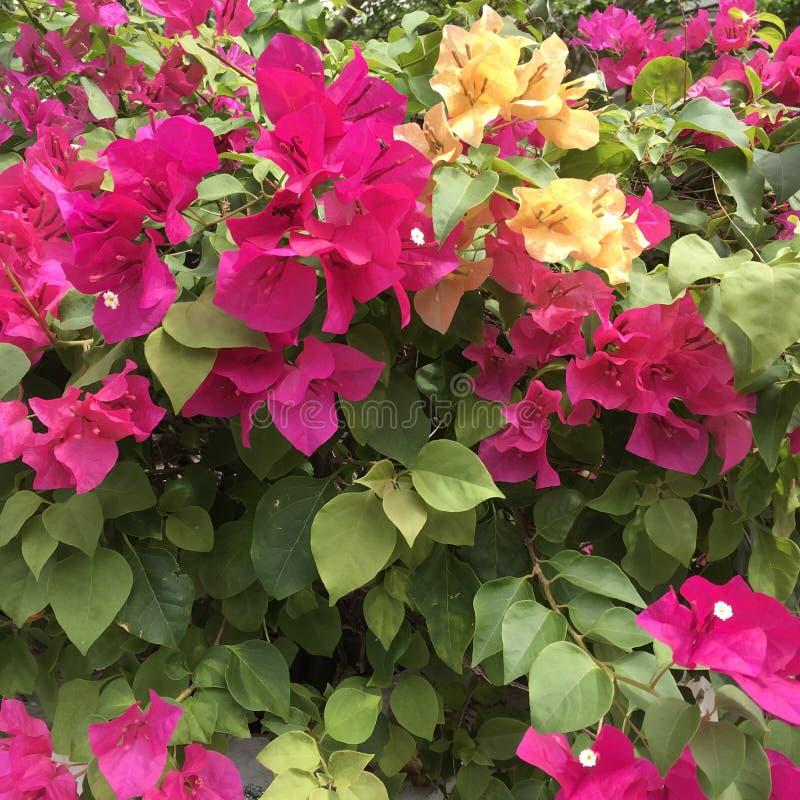Fiori rosa tropicali della buganvillea fotografie stock libere da diritti