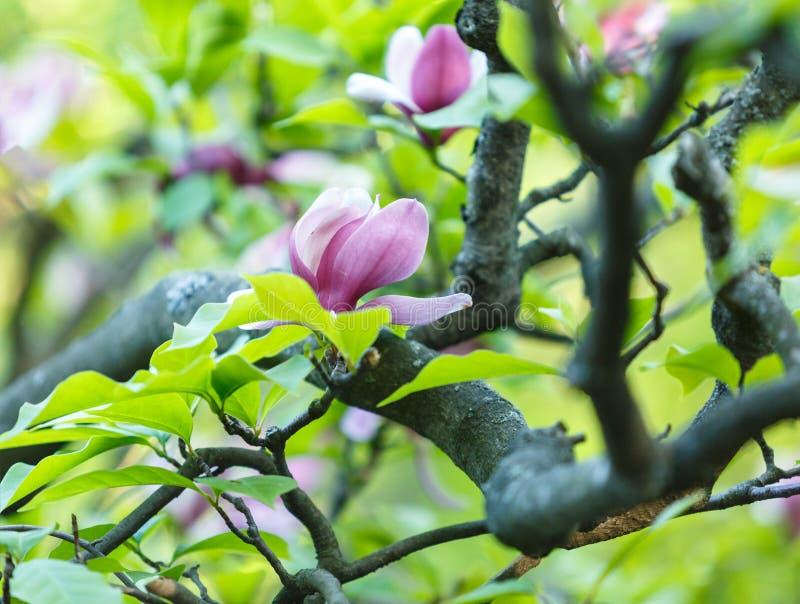Fiori rosa viola della magnolia Bello ramo sbocciato di stupore della magnolia del fondo rosa della magnolia in primavera Fiore f immagine stock