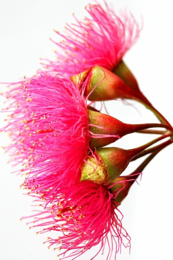 Fiori rossi australiani di Ironbark fotografia stock