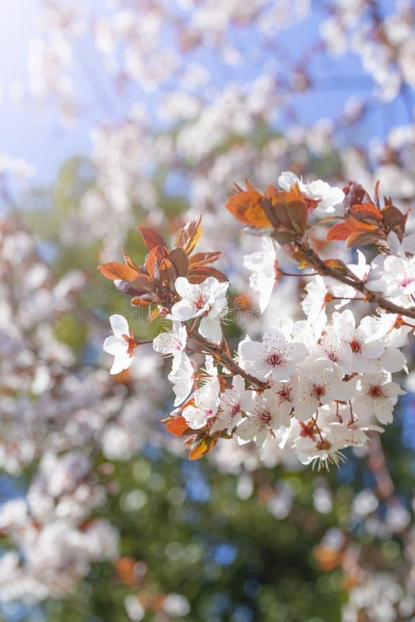 Fiori rossi bianchi del prunus cerasifera Ramo sbocciante con con i fiori della ciliegia susina albero di fioritura fotografie stock