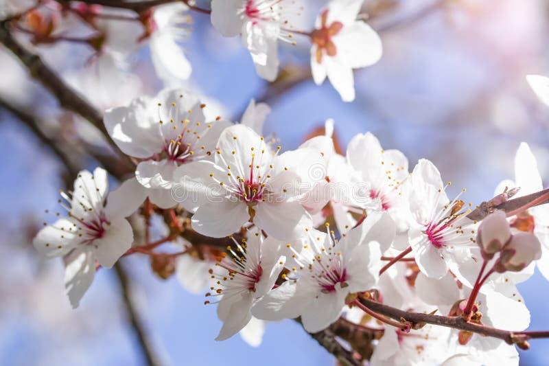 Fiori rossi bianchi del prunus cerasifera Ramo sbocciante con con i fiori della ciliegia susina albero di fioritura fotografie stock libere da diritti
