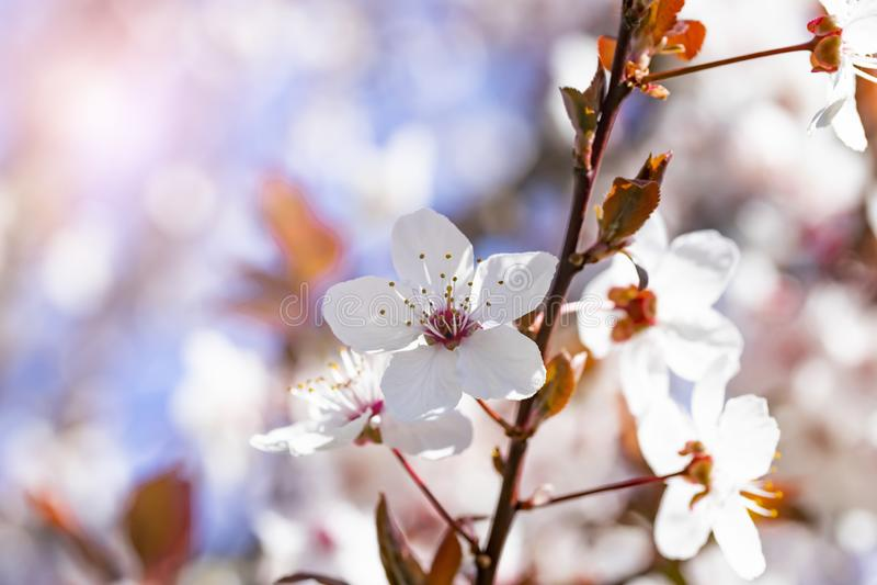 Fiori rossi bianchi del prunus cerasifera Ramo sbocciante con con i fiori della ciliegia susina albero di fioritura fotografia stock libera da diritti