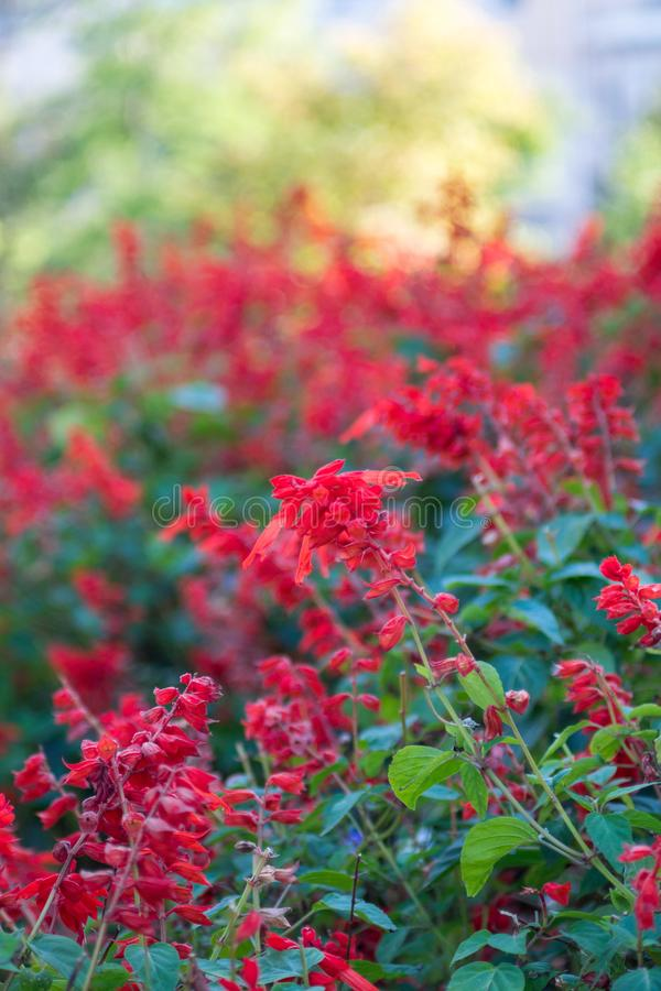 Fiori rossi con fondo vago fotografie stock