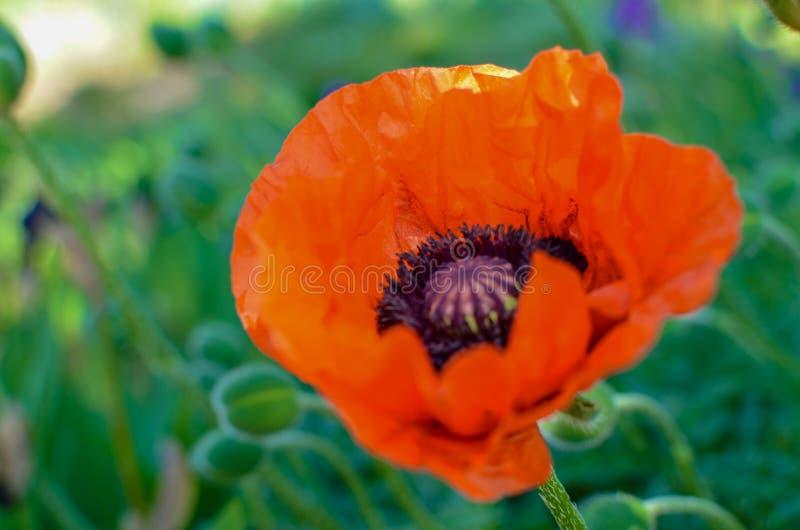 Fiori rossi dei papaveri in giardino o in prato fotografie stock libere da diritti