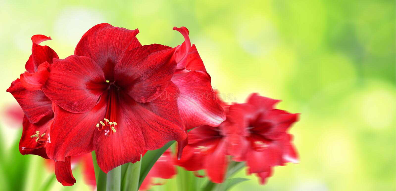 Fiori rossi del Amaryllis fotografia stock libera da diritti