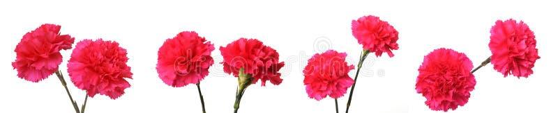 Fiori rossi del garofano fotografia stock