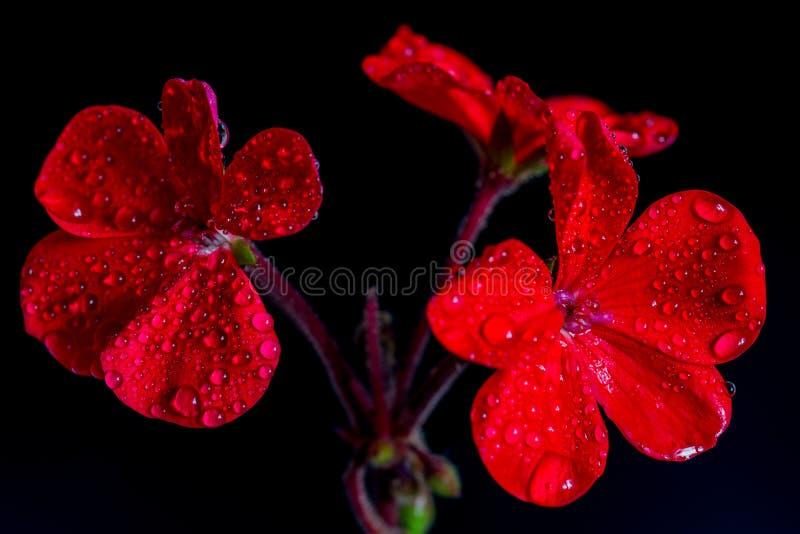 Fiori rossi del geranio su fondo nero fotografia stock