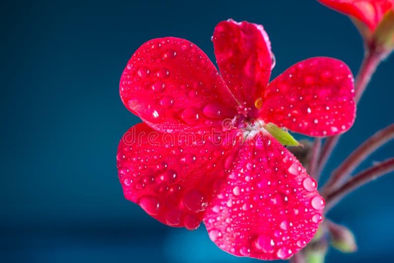 Fiori rossi del geranio su un fondo blu fotografia stock libera da diritti