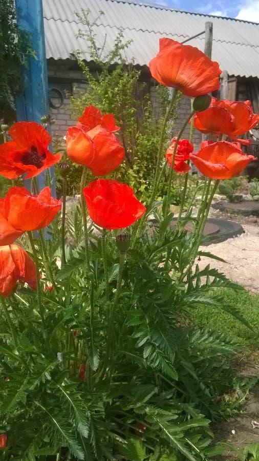 Fiori rossi del giardino dei papaveri bei fotografia stock libera da diritti